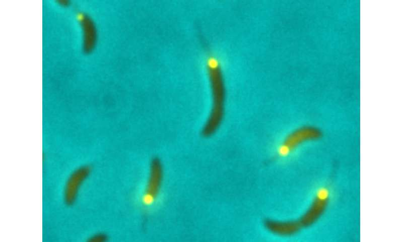 Small signaling molecule gives green light for cell division