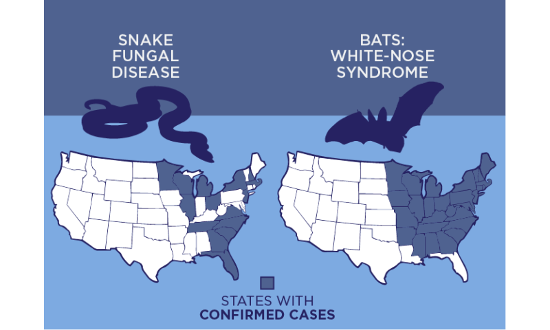 Snake fungal disease parallels white-nose syndrome in bats