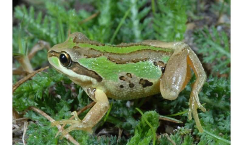 Some frogs surviving deadly chytrid fungus infection