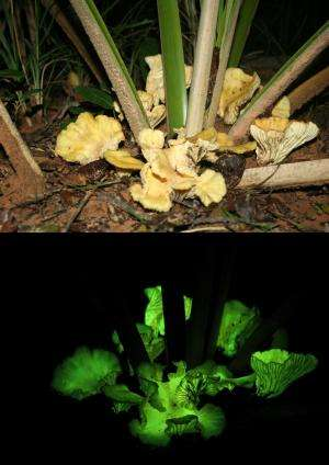 Some mushrooms glow, and here's why