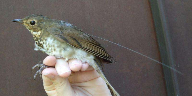 Songbirds make mysterious altitude changes during nighttime migratory flights
