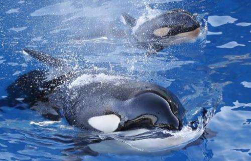 Southern Resident killer whales were given endangered species protection by the US government a decade ago, but this protected s