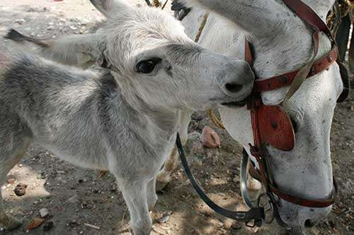 Spotting pain in donkeys – learning the language