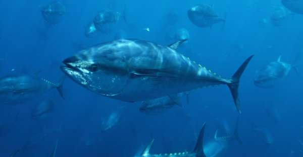 Stock recovery plan for Pacific Bluefin tuna urgently needed