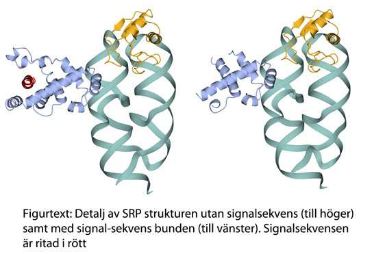 Structural data reveals new mechanism behind protein transport