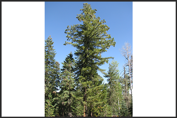 Study seeks to help southwestern white pine navigate climate change, disease