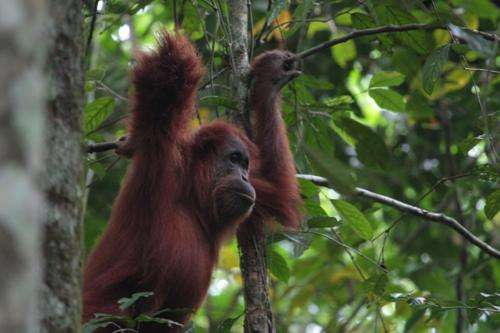 Study shows orangutans use their hands to make their voices deeper
