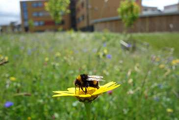 Study shows urban habitats provide haven for UK bees