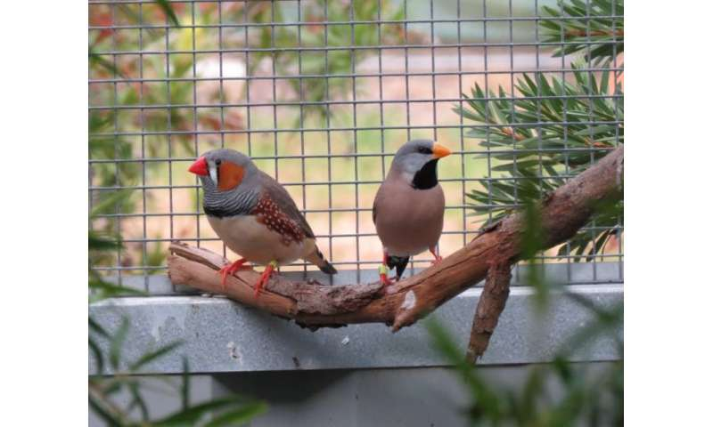 Supermodel Aussie finches do a sexy DNA swap at hotspots like we do