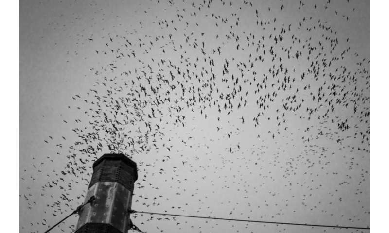 Swifts' migratory behavior may have conservation implications