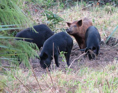 Tagging and scanning for feral pigs