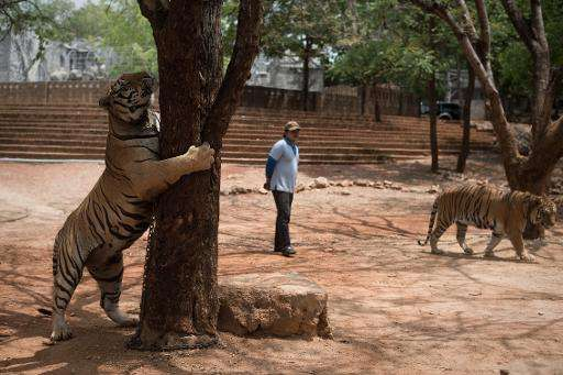 Thai wildlife officials have been threatening to seize the 147 tigers being kept by monks at The Tiger Temple in Kanchanaburi pr