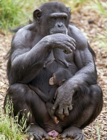 """The adoption of another female's baby by a pregnant female, an """"unheard of"""" act amoungst chimps, has happened at Monar"""