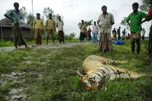 The body of a Royal Bengal tiger which was killed by local people lies in the grass in Khalishabunia village, Satkhira, Banglade