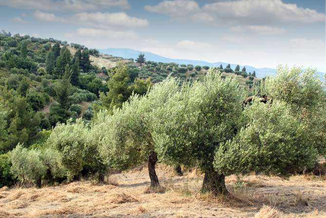 The famous olive trees of Puglia are ravaged by disease – here's how we can save them