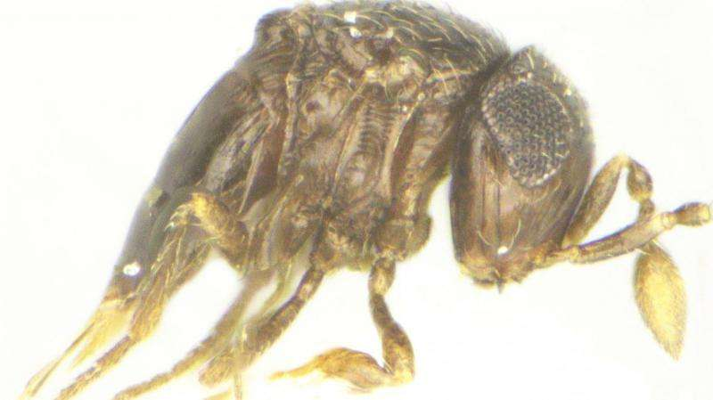 The first long-haired ones: New wasp group proposed for 5 new species from India