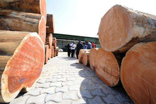 The hard wood of the Kevazingo tree, a famous species in Gabon, is in high demand especially in Asia and illegal logging has roc