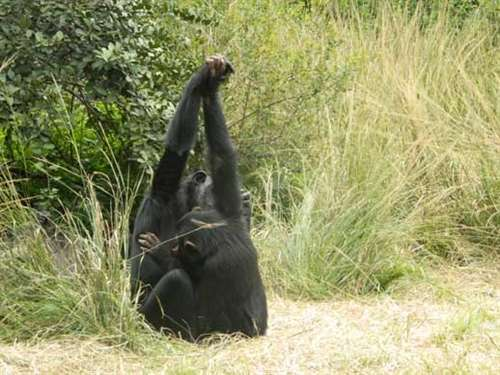 The interaction between culture and nature in behaviour of chimpanzees