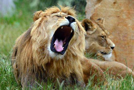 The lion is currently listed as vulnerable at a global level, with its western African subpopulation listed as 'critically endan