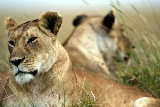The lion remains listed as vulnerable at a global level, the International Union for the Conservation of Nature said in an updat