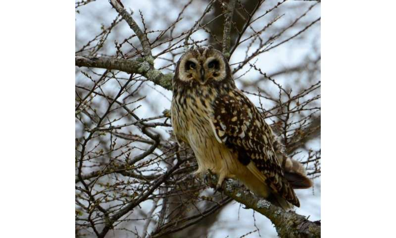 The owls beyond the Andes: Divergence between distant populations suggests new species