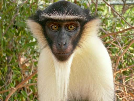 The roloway monkey is thought to be on the verge of extinction