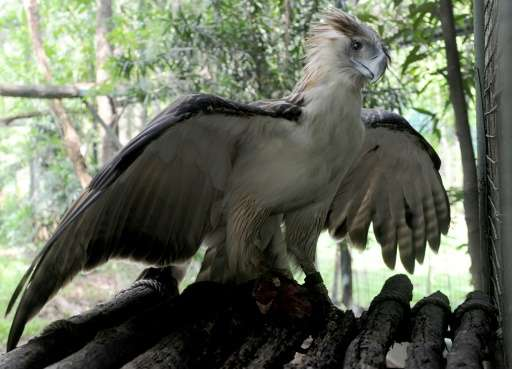 """The Swiss-based International Union for the Conservation of Nature lists the Philippine eagle as """"critically endangered&quo"""