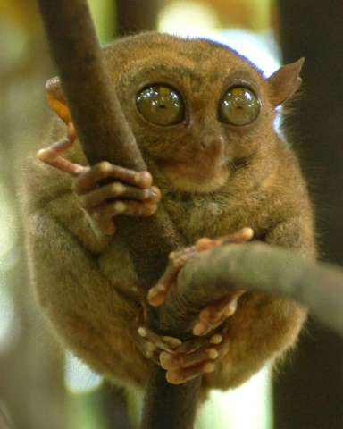 The tarsier is the world's smallest primate and are a protected species in the Philippines