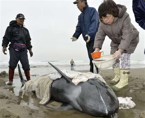Three dolphins rescued after large group strands on Japan coast