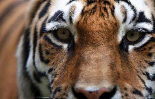 Three local politicians in China raised at least 11 endangered Siberian tigers, state media has reported, after one of the anima