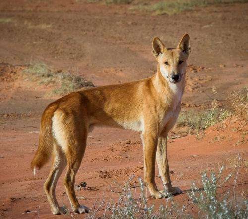 Time for a bold dingo experiment