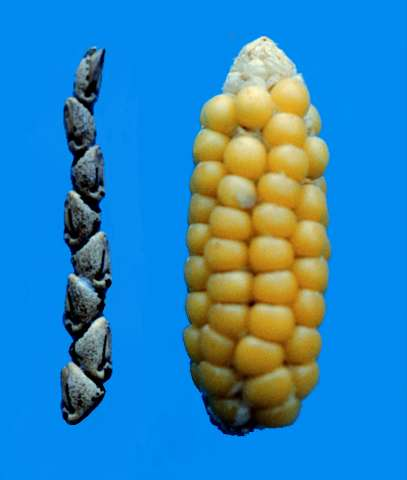 Tiny genetic tweak unlocked corn kernels during domestication