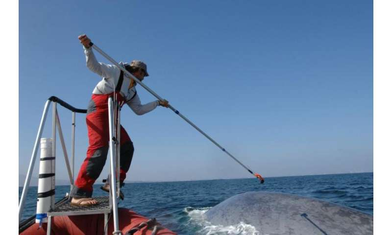 To breathe or to eat: Blue whales forage efficiently to maintain massive body size