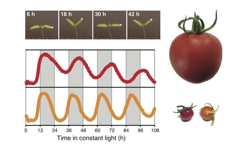 Tomato domestication decelerated the circadian clock