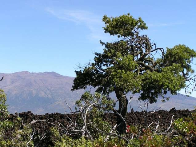 Tree rings on Hawai'i could hold new knowledge about El Niño
