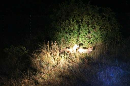 Two lions brought from South Africa are seen at night after being released in a temporary enclosure where they are going to spen