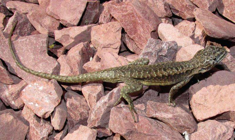 Two new iguanid lizard species from the Laja Lagoon, Chile