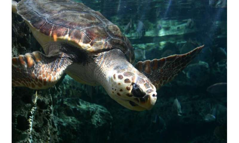 UGA's sea turtle genetic fingerprinting research project featured in world report