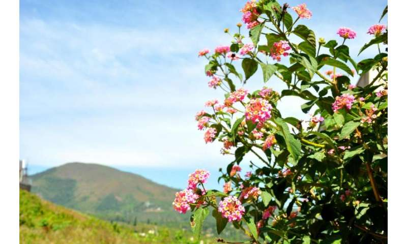 Unresolved composition of Lantana camara: Impediment to its management