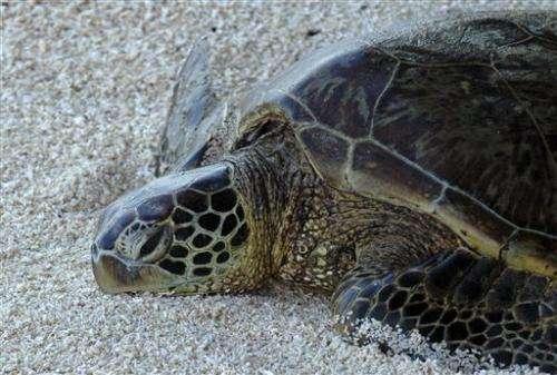 US agency: Keep threatened status for green sea turtles