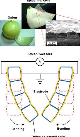 Vegetable-based artificial muscles that can expand and contract while bending