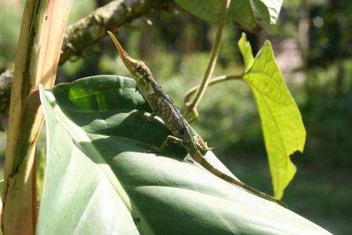 Virginia Tech, Ecuadoran scientists study rare 'Pinocchio Lizard' in effort to save it