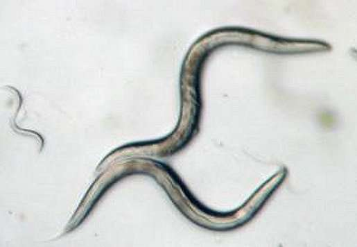 Watching worms will help humans age more gracefully