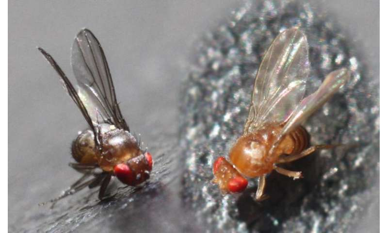 When fruit flies get sick, their offspring become more diverse