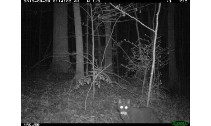 Where the wild things aren't: Cats avoid places coyotes roam
