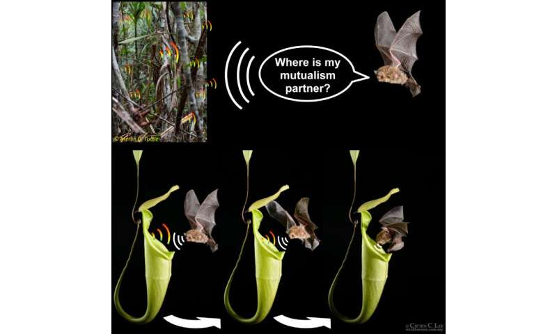 With acoustic reflector, carnivorous pitcher plants advertise themselves to bats