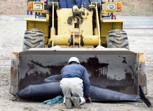 Workers remove a dead melon-headed whale beached on the shore of Hokota city, northeast of Tokyo on April 10, 2015