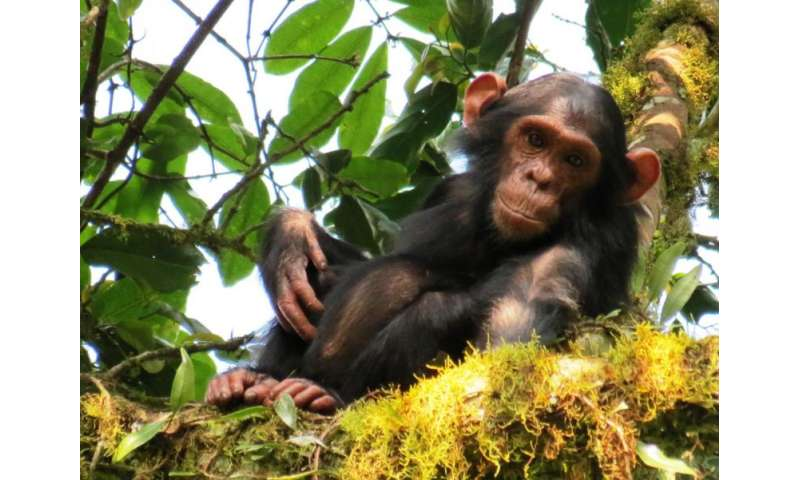 Young male chimpanzees play more with objects, but do not become better tool users