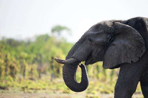 Zimbabwe's government says the country is home to 80,000 elephants but can cope with only 42,000