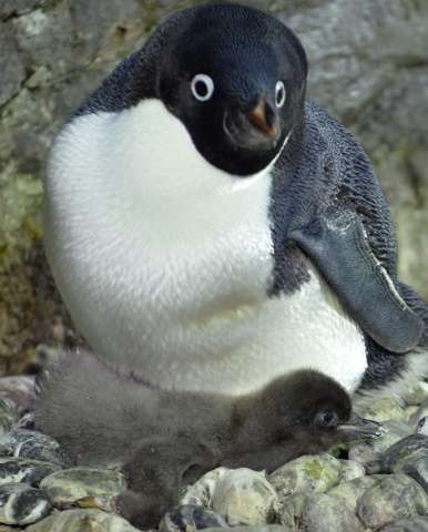 A baby Adelie penguin